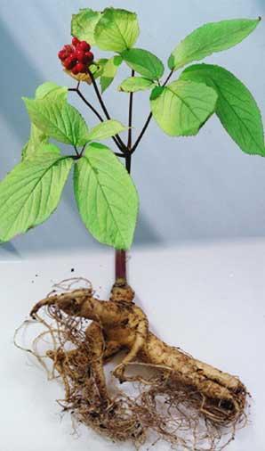 obrázek rostliny a kořene Panax ginseng